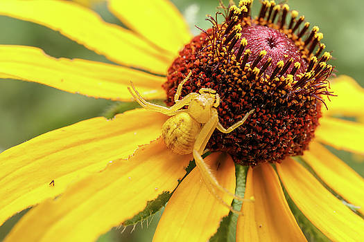 Yellow Spider by Doug Long
