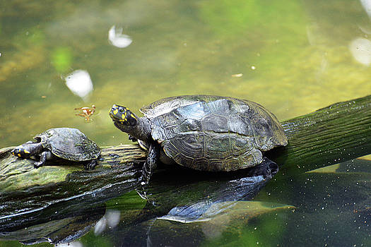 Harvey Barrison - Yellow Spotted River Turtle