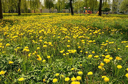 Yellow spring carpet by Henryk Gorecki