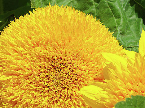 Baslee Troutman - Yellow Sunflower art prints Floral Sun Flowers Baslee Troutman