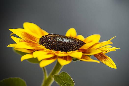 Yellow Sunflower Photograph by Sabine Konhaeuser