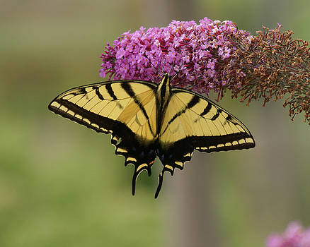 Yellow Swallowtail Butterfly by D Winston