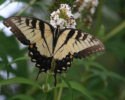 Yellow Swallowtail by Carla Neufeld