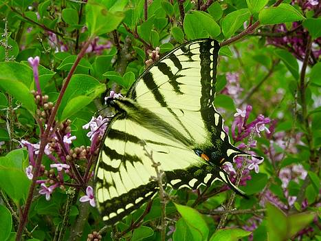 Stephanie Moore - Yellow Swallowtail