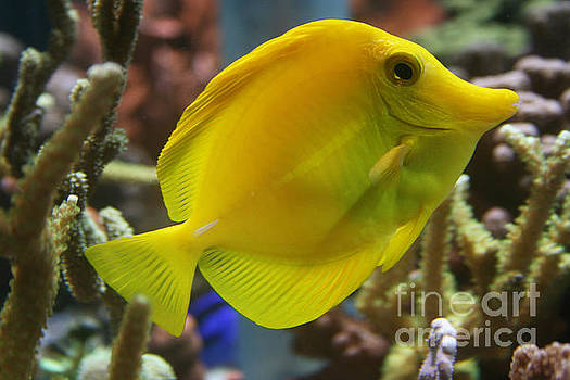 Yellow Tang by Lynn Jackson