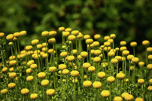 Yellow Tansy by Nick Bywater
