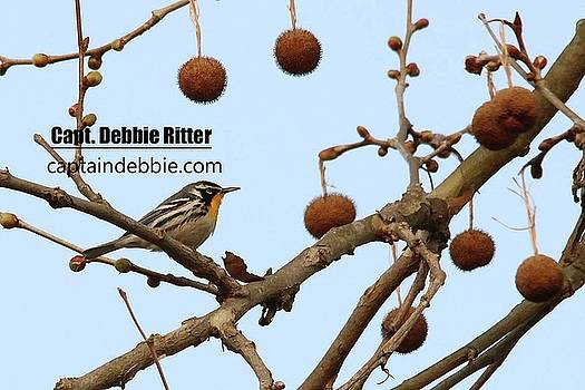 Yellow-throated Warbler 0432 by Captain Debbie Ritter