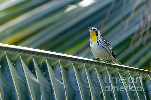 Yellow-Throated Warbler in a Palm Tree by Catherine Sherman