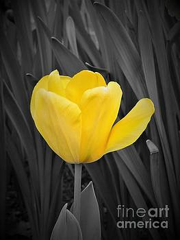 Yellow Tulip by Chad and Stacey Hall