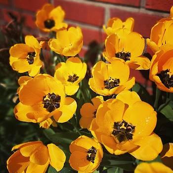 Yellow tulip flowers  by Tamara Sushko