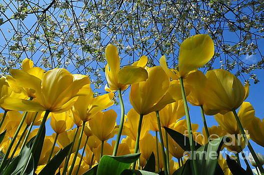 Yellow Tulips captured in Keukenhof gardens, Holland  by Akshay Thaker