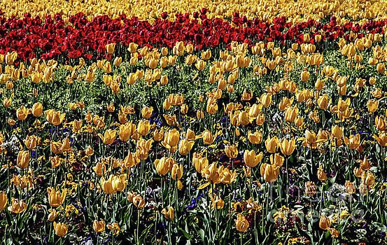 Mae Wertz - Yellow Tulips