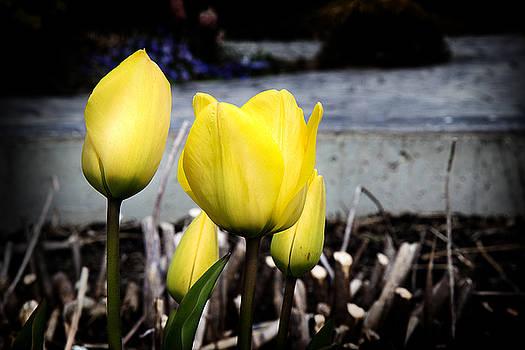 Milena Ilieva - Yellow Tulips