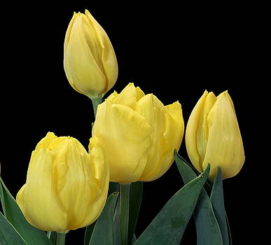 Yellow Tulips on Black by Sheila Brown