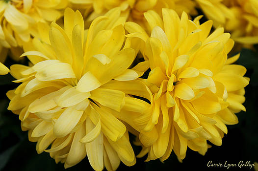Yellow Twins by Carrie Gallop