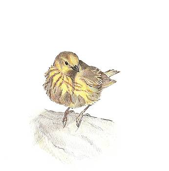 Yellow Warbler by Abby McBride