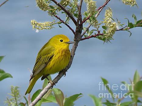 Yellow Warbler by Brenda Ketch