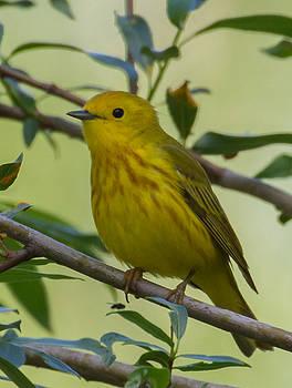 Dee Carpenter - Yellow Warbler