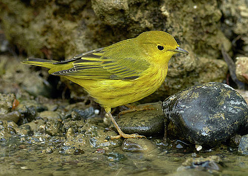 Yellow Warbler by Doug Herr