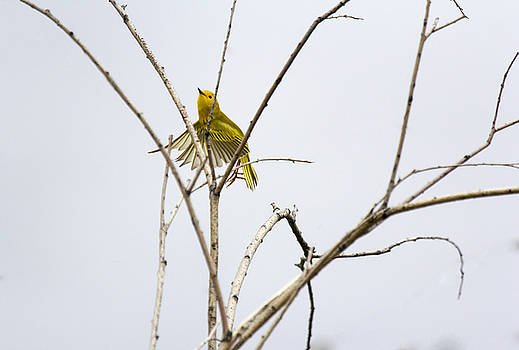 Yellow Warbler in flight by Dana Moyer