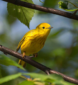 Dee Carpenter - Yellow Warbler Male