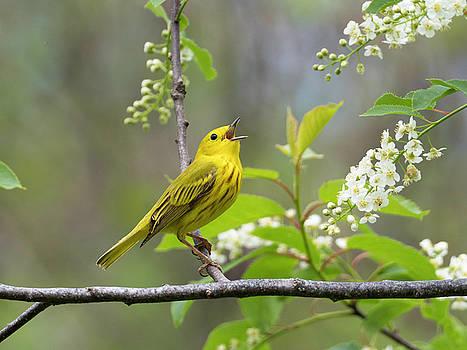 Yellow Warbler Songbird Singing in Tree Flowers by Scott Leslie