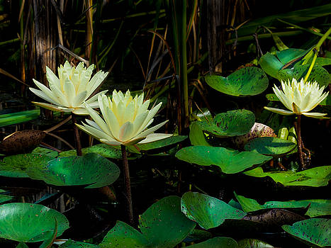 Yellow Water Lilies by Paula Ponath