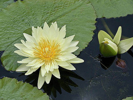 Heiko Koehrer-Wagner - Yellow Water Lily with bud Nymphaea