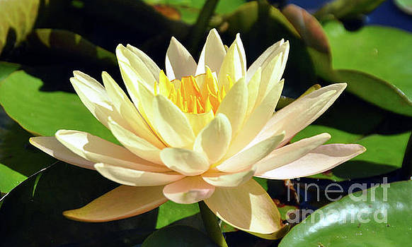 Yellow Waterlily by Elaine Manley