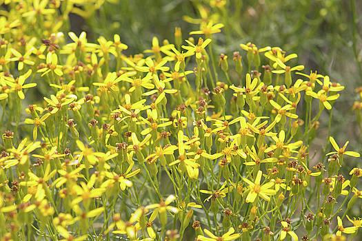Yellow Wild Flowers 4 by Jodi Vetter