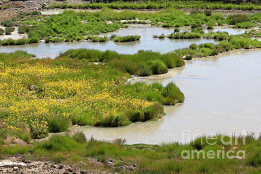 Yellow Wildflowers at Mud Volcano Area in Yellowstone National Park by Louise Heusinkveld