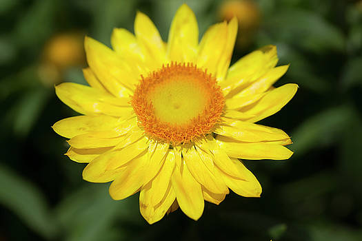 Yellow Zinnia by Mark Michel