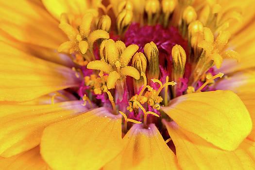 Yellow Zinnia by SR Green