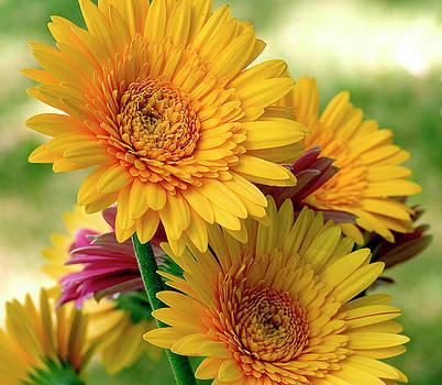 Yellow Zinnias by Norman Drake