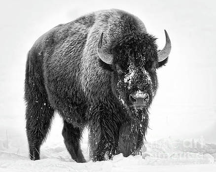 Yellowstone Bison bw by Jerry Fornarotto