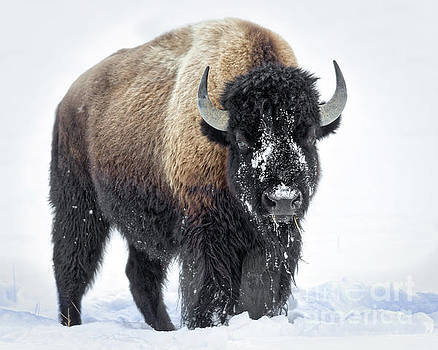 Yellowstone Bison by Jerry Fornarotto
