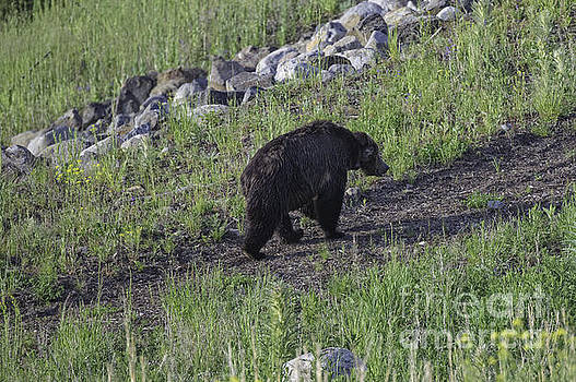 Tim Moore - Yellowstone Black Bear