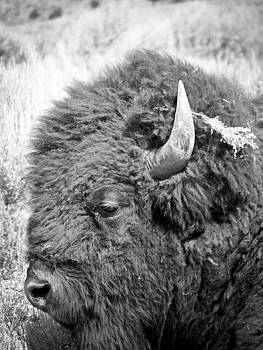 Jonathan Hansen - Yellowstone Buffalo