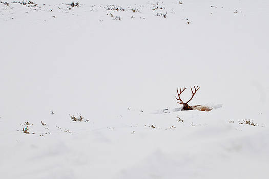 Yellowstone elk by Roy Nierdieck