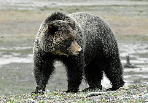 Yellowstone Grizzly a Pondering by Bruce Gourley
