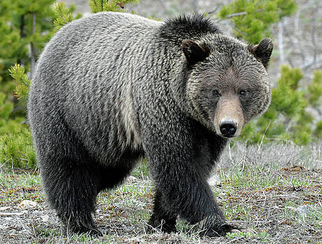 Yellowstone Grizzly Looking at You by Bruce Gourley