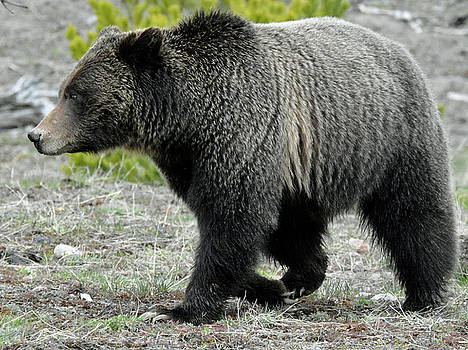 Yellowstone Grizzly Mid-Stride by Bruce Gourley