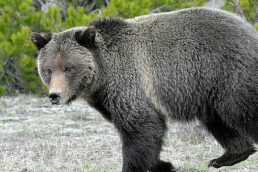 Yellowstone Grizzly on the Hunt by Bruce Gourley