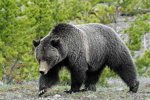 Yellowstone Grizzly Searching for Grubs by Bruce Gourley