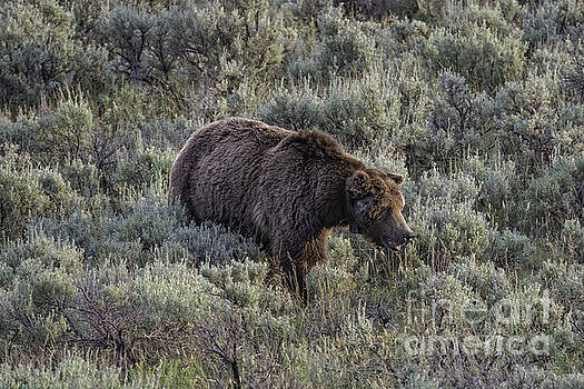 Tim Moore - Yellowstone Grizzly