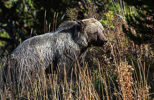 Torrey McNeal - Yellowstone Grizzly