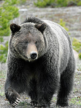 Yellowstone Grizzly With Claws by Bruce Gourley
