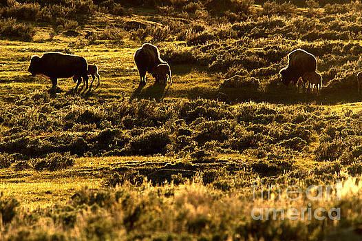 Adam Jewell - Yellowstone Sunset Graze