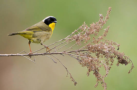 Yellowthroat Warbler by William Jobes