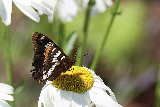 Lorquin's Admiral Butterfly 5 by Marilyn Wilson